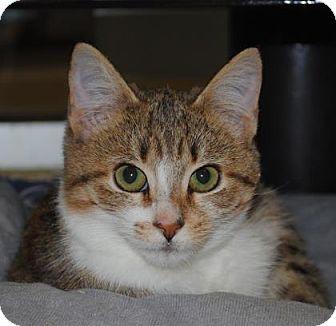 Domestic Shorthair Cat for adoption in Aiken, South Carolina - Raylynn