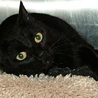 Domestic Shorthair Cat for adoption in Hilton Head, South Carolina - Lance