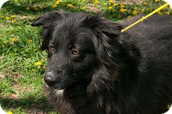 Chow Chow/Labrador Retriever Mix Dog for adoption in Pittsburg, Kansas - Daphne
