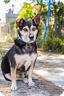 Dachshund/Miniature Pinscher Mix Dog for adoption in Los Angeles, California - Carson
