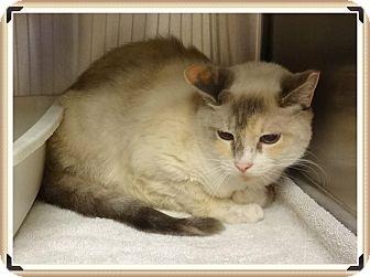 Siamese Cat for adoption in Marietta, Georgia - VIOLET (R)