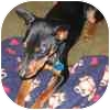 Miniature Pinscher Dog for adoption in Greensboro, North Carolina - MAX