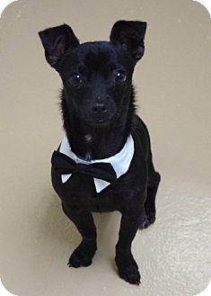 Chihuahua Mix Dog for adoption in Dublin, California - Pico