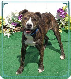 Pit Bull Terrier Mix Dog for adoption in Marietta, Georgia - FARGO