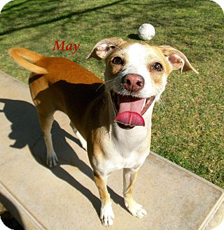 Chihuahua/Terrier (Unknown Type, Small) Mix Dog for adoption in El Cajon, California - Maya