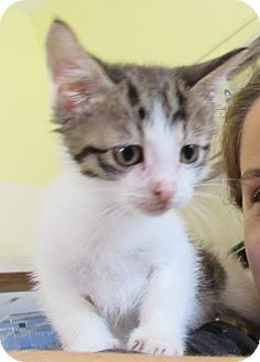 Domestic Shorthair Kitten for adoption in Grinnell, Iowa - McBeane