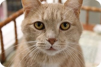 Domestic Shorthair Cat for adoption in Medina, Ohio - Kitty