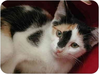 Domestic Shorthair Kitten for adoption in Fort Lauderdale, Florida - Cara