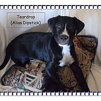 Adopt A Pet :: Teardrop - Colmar, PA