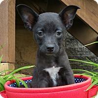 Adopt A Pet :: Ryder-ADOPTION PENDING - Bridgeton, MO