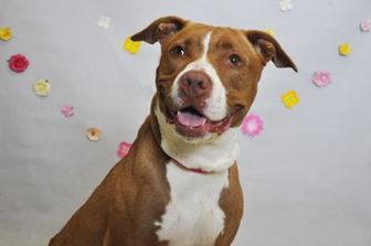 American Pit Bull Terrier Mix Dog for adoption in Wantagh, New York - Sally