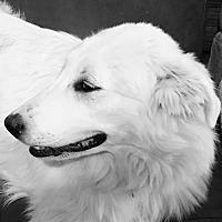 Adopt A Pet :: Marshmallow - Garland, TX