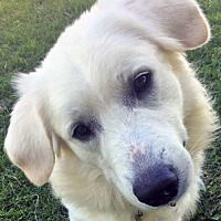 Adopt A Pet :: Samson in OH / Needs Foster - new! - Beacon, NY