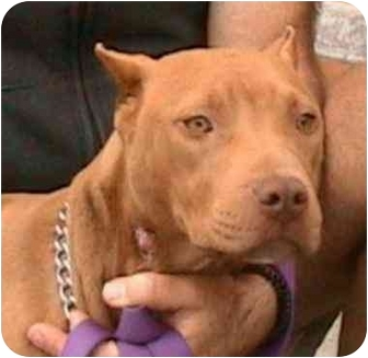 American Pit Bull Terrier Mix Dog for adoption in Berkeley, California - Dina