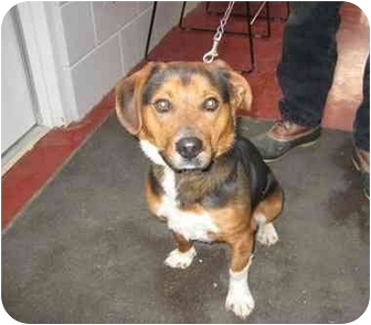 Beagle Mix Dog for adoption in Florence, Indiana - Freddy