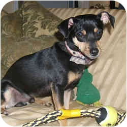 Miniature Pinscher Mix Dog for adoption in Springvale, Maine - HENRI