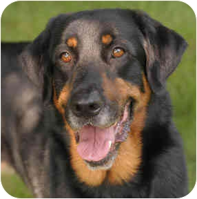 Rottweiler/Setter (Unknown Type) Mix Dog for adoption in Chicago, Illinois - Tucker