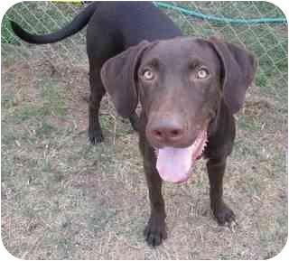 Labrador Retriever/Pointer Mix Dog for adoption in Largo, Florida - Hunter