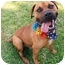 Photo 3 - Boxer/Pit Bull Terrier Mix Dog for adoption in Huntington, New York - Norman