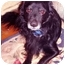 Photo 4 - Pomeranian/Spaniel (Unknown Type) Mix Dog for adoption in New York, New York - Poochie