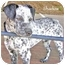 Photo 4 - Dalmatian/Australian Cattle Dog Mix Puppy for adoption in Mandeville Canyon, California - Shadow