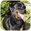 Photo 1 - Rottweiler Mix Dog for adoption in Brewster, New York - T Rex