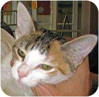 Domestic Shorthair Kitten for adoption in Houston, Texas - Lilly Bug