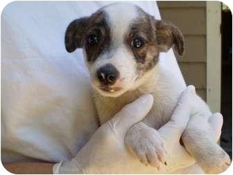 Norwegian Elkhound Mix Puppy for adoption in Broadway, New Jersey - Grumpy