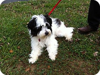 Shih Tzu/Maltese Mix Puppy for adoption in Lexington, Kentucky - Yo Yo