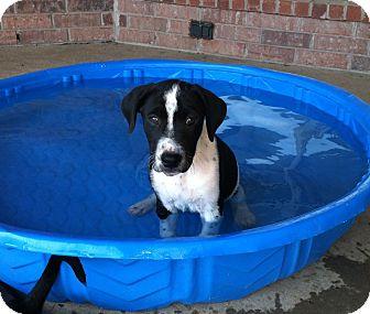 Labrador Retriever/Weimaraner Mix Puppy for adoption in White Settlement, Texas - Bonnie's Rumble-adopt pending