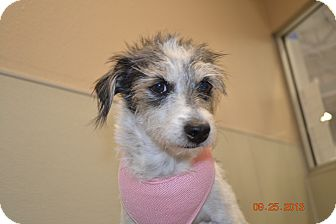 Lakeland Terrier Mix Dog for adoption in Gilbert, Arizona - Polly