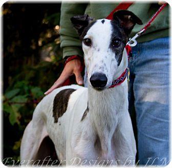 Greyhound Dog for adoption in Harrisburg, Pennsylvania - McBones
