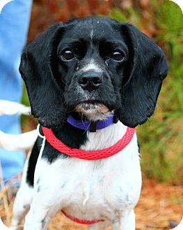 Spaniel (Unknown Type) Mix Dog for adoption in Manahawkin, New Jersey - Katie