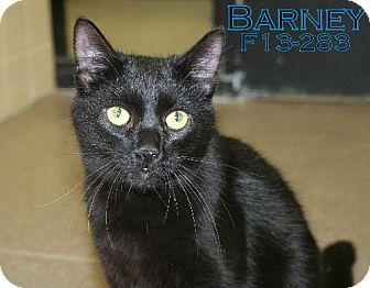 Domestic Shorthair Kitten for adoption in Tiffin, Ohio - BARNEY