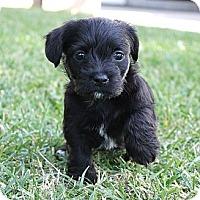 Adopt A Pet :: Avalon - La Habra Heights, CA
