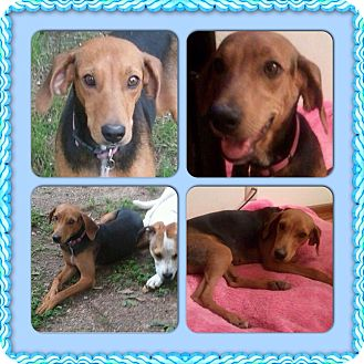 Black and Tan Coonhound/Labrador Retriever Mix Dog for adoption in Memphis, Tennessee - Brie