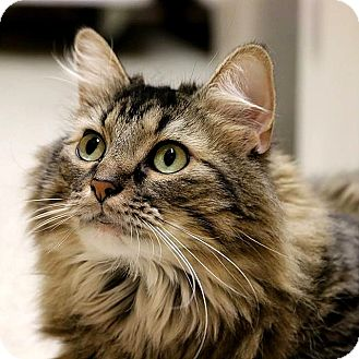 Domestic Longhair Cat for adoption in Columbia, Illinois - Tina