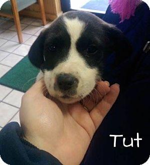 Labrador Retriever Mix Puppy for adoption in Cranford, New Jersey - Tut