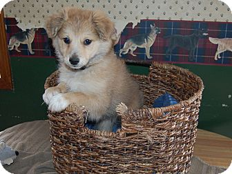 Chihuahua/Pomeranian Mix Puppy for adoption in North Judson, Indiana - Harley