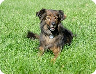 Sheltie, Shetland Sheepdog Mix Dog for adoption in Circle Pines, Minnesota - Josey