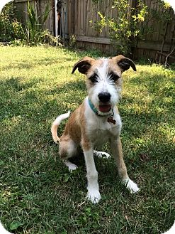 Wirehaired Fox Terrier/Collie Mix Puppy for adoption in High Point, North Carolina - Allie