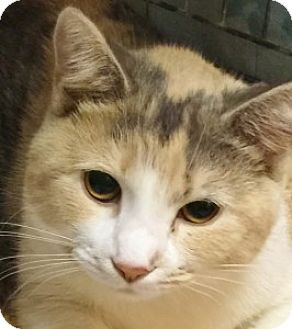 Domestic Shorthair Cat for adoption in Medford, Massachusetts - Sora