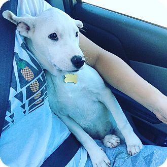 Labrador Retriever Mix Puppy for adoption in Brattleboro, Vermont - Janie