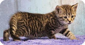 Domestic Shorthair Kitten for adoption in Danbury, Connecticut - Chess