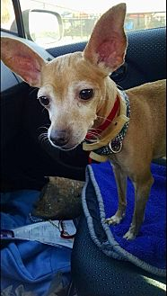 Chihuahua Mix Dog for adoption in Essington, Pennsylvania - Peggy