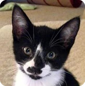 Domestic Shorthair Kitten for adoption in Walworth, New York - Inky