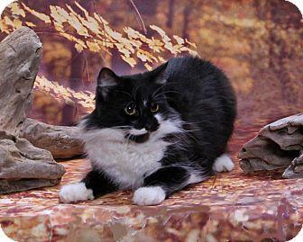 Domestic Longhair Cat for adoption in Seminole, Florida - Eva