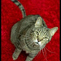 American Shorthair Cat for adoption in Belton, Missouri - Tundra