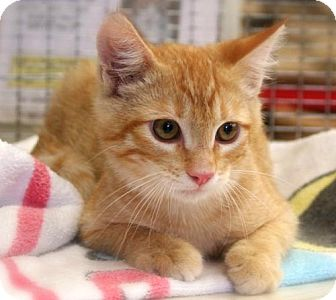 Domestic Mediumhair Kitten for adoption in Walnut Creek, California - WALLY