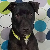 Adopt A Pet :: Thor - Fairview Heights, IL